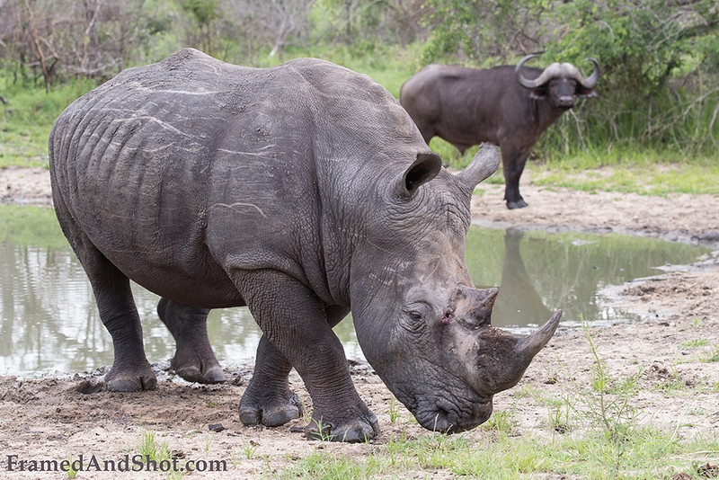 <strong><center><b>Two of the big five</b></center></strong> In Africa, the big five game animals are the lion, African elephant, Cape buffalo, leopard, and rhinoceros. The term big five game (was coined by big-game hunters and refers to the five most difficult animals in Africa to hunt on foot. The members of the Big Five were chosen for the difficulty in hunting them and the degree of danger involved, rather than their size