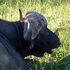 Buffalo with Bird at Thornybush