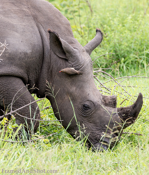 "<strong><center><b> White Rhinoceros and oxpecker II(Ceratotherium simum). </b></center></strong>The word ""white"" in the name ""white rhinoceros"" is a misinterpretation of the Afrikaans word wyd, itself derived from the Dutch word wijd for wide, referring to its square upper lip, as opposed to the pointed or hooked lip of the black rhinoceros. These species are now sometimes referred to as the square-lipped (for white) or hook-lipped (for black) rhinoceros"