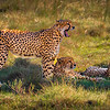 Cheetah, Eastern Cape Game Park
