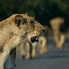 Lions on the road. Kruger National Park, South Africa
