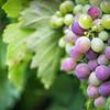 Shiraz grapes, Seven Oaks Wine Estate