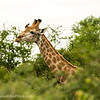 <strong><center><b> Giraffes little helper </b></center></strong> Giraffe with Oxpecker. Both the English and scientific names arise from their habit of perching on large mammals and eating ticks, botfly larvae, and other parasites.