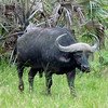 African Buffalo in South Africa