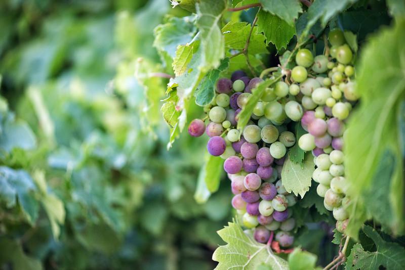 Ripening grapes, Seven Oaks Wine Estate