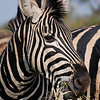 Amazing patterns on a zebra in Kruger National Park.