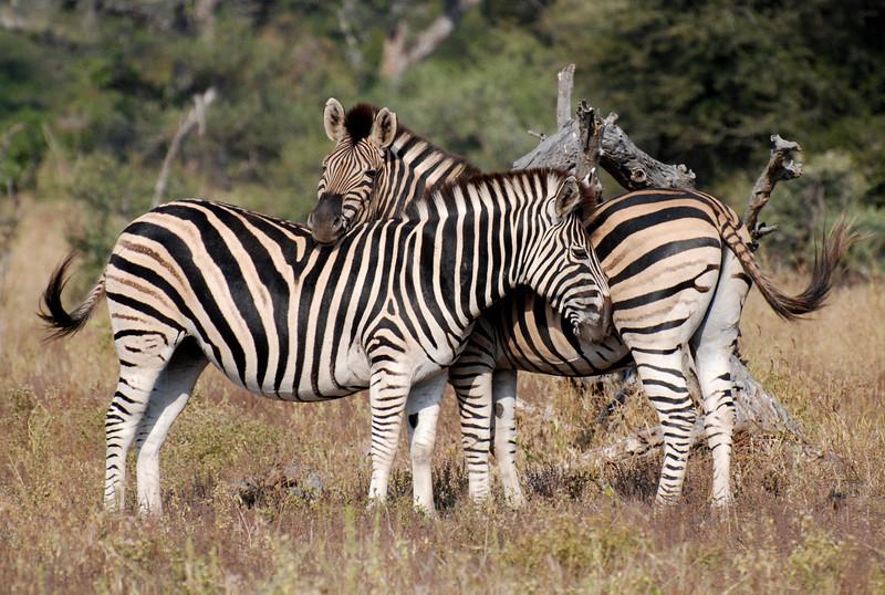 Zebras. Kruger Park, South Africa