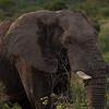 Bull Elephant 5