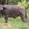 "<strong><center><b>Cape buffalo III</b></center></strong> Known within Africa as one of the ""big five"", ""The Black Death"" or ""widowmaker"", the African buffalo is widely regarded as a very dangerous animal, as it goes and kills over 200 people every year."