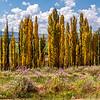 Poplar Trees turning gold in the Autumn
