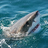 Great White Shark near Gansbaai, South Africa.