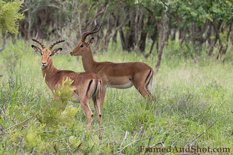 "<strong><center><b>Impala</b></center></strong> The name impala comes from the Zulu language meaning ""gazelle""."