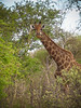 Giraffe with a mouthful - Marataba, South Africa
