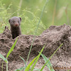 <strong><center><b>Dwarf Mongoose</b></center></strong> The Dwarf Mongoose is a typical mongoose: it has a large pointed head, small ears, a long tail, short limbs, and long claws.  It is much smaller than most other species (18 to 28 cm, 210 to 350 grams); in fact, it is Africa's smallest carnivore. The soft fur is very variable in color, ranging from yellowish red to very dark brown.
