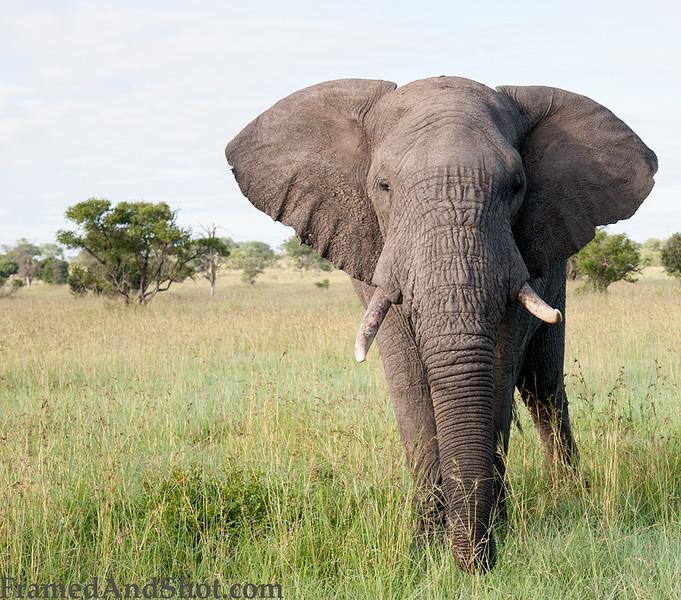 <strong><center><b> Elephant  </b></center></strong>