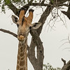 <strong><center><b>Giraffe with Oxpecker</b></center></strong>
