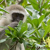 <strong><center><b> Just like you and me.... </b></center></strong> Vervet monkeys serve as a nonhuman primate model for understanding genetic and social behaviors of humans. They have been noted for having human-like characteristics, such as hypertension, anxiety, and social and dependent alcohol use.  These mostly vegetarian monkeys have black faces and grey body hair color, ranging in length from about 19 in (50 cm) for males to about 16 in (40 cm) for females.