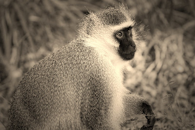 Vervet monkey, Bourke's Luck Potholes