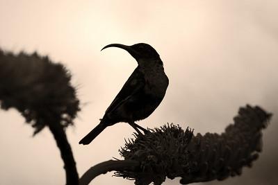Scarlet-chested (trust me) sunbird, Kruger Nat'l Park