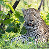 <strong><center><b> Leopard III </b></center></strong> Leopards have an exceptional ability to adapt to changes in prey availability, and have a very broad diet. Small prey are taken where large ungulates are less common. The known prey of leopards ranges from dung beetles to adult elands, which can reach 900 kg (2,000 lb)