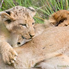 <strong><center><b> Adventurous Lion Cub  </b></center></strong>  Young cubs spend much of their waking time playing, and practicing the survival skills they will need as adults. Just before they are a year old, they will join their parents in the hunt. Before the cubs have reached the age of two, they can bring down prey as large as a gazelle by themselves. At age two, lions become sexually mature, and males start to grow manes.