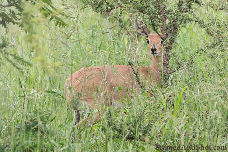 <strong><center><b>Hiding </b></center></strong> Female Steenbok,  (Raphicerus campestris), a common small antelope of southern and eastern Africa. It is sometimes known as the steinbuck or steinbok.