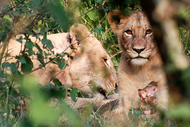 Lions with kill. Kruger National Park, South Africa