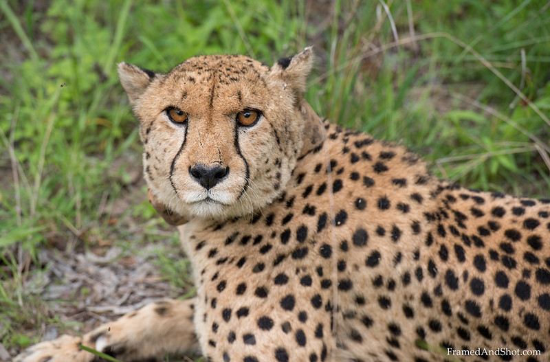<strong><center><b>The Fastest animal on Earth</b></center></strong> The cheetah is by far the fastest animal, with a maximum speed of 120 km/h (75 mph)  it can run faster than all other animals. The Cheetah can accelerate from 0 to 100 km/h (60.0 mph) in under three seconds, though endurance is limited: most Cheetahs run for only 60 seconds at a time. When sprinting, cheetahs spend more time in the air than on the ground! This one has a collar for registration, several cheetahs have been killed by lions in the Kruger park, and they want to know if there is any left....
