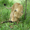 Lioness Eating Kill at Thornybush