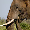 Bull elephant in Kruger National Park, South Africa