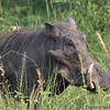 "<strong><center><b>Worthog </b></center></strong> The common name comes from the four large, wart-like protrusions found on the head of the warthog, which serve as a fat reserve and are used for defense when males fight. Afrikaans-speaking people call the animal vlakvark, meaning ""pig of the plains"""