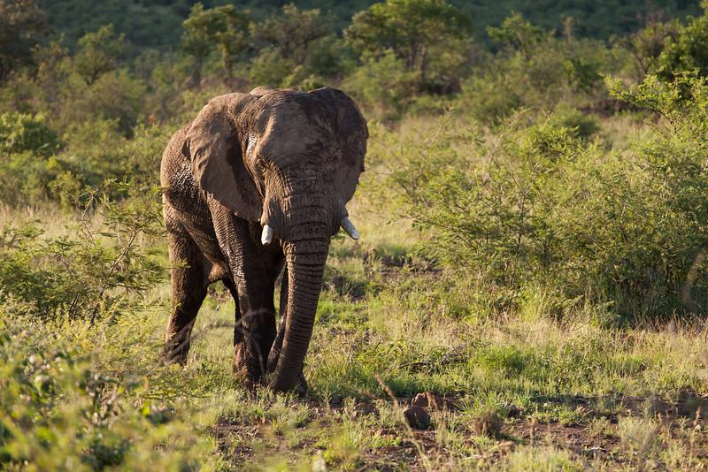Bull Elephant 2