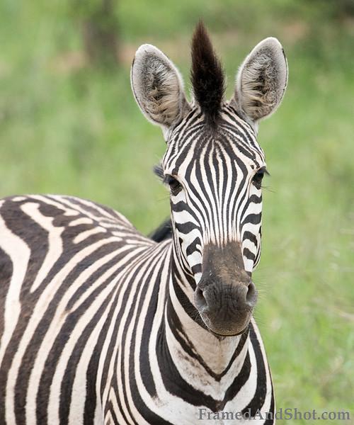 <strong><center><b>Punk Zebra  </b></center></strong>