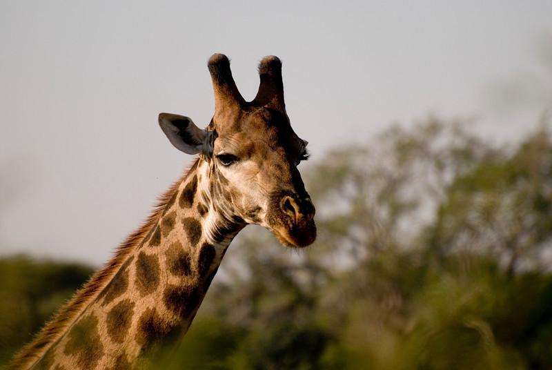 Pretty giraffe. Kruger National Park, South Africa