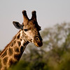 Pretty giraffe. Kruger National Park, South Africa