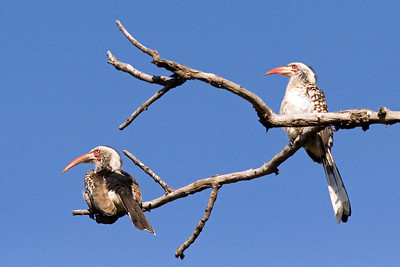 Red-billed hornbills, Kruger Nat'l Park