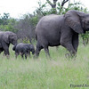 <strong><center><b>Long Line of Elephants  </b></center></strong>