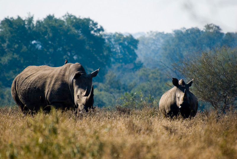 Mom and baby White Rhinos. Kruger Park National Park, South Africa