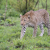 <strong><center><b>Leopard</b></center></strong> The species' success in the wild is in part due to its opportunistic hunting behavior, its adaptability to habitats, its ability to run at speeds approaching 58 kilometres per hour (36 mph), its unequaled ability to climb trees even when carrying a heavy carcass, and its notorious ability for stealth.