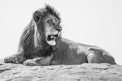 Resting male lion ... Serengeti