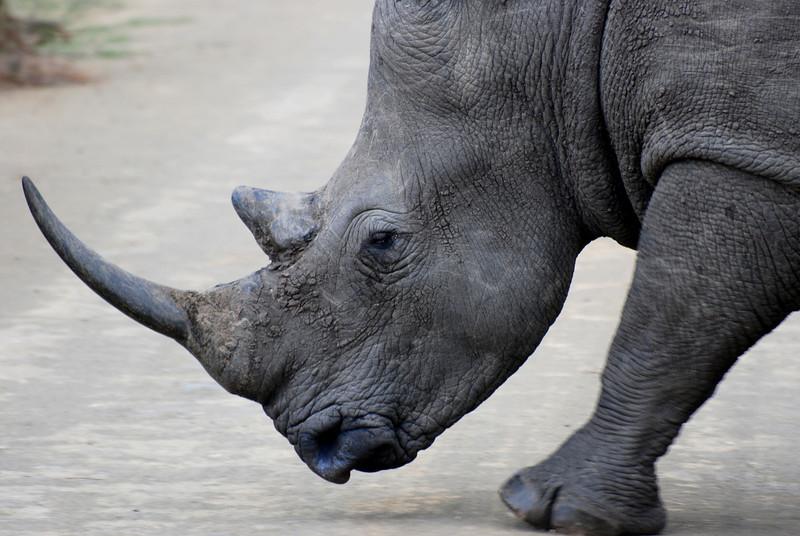 White Rhino ... Hluhluwe-Imfolozi Game Reserve, South Africa