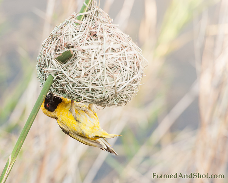 <strong><center><b> Home Sweet Home </b></center></strong>The nest is carefully woven by the male from grasses and/or strips of palm fronds.