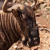 Wildebeest 2