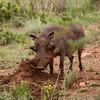 Warthog 4