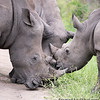 <strong><center><b>Rhino Hug</b></center></strong>The closest rhino relationship is between a female and her calf, lasting from 2 to 4 years.