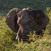 Bull Elephant 4