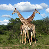 Giraffes while on Safari