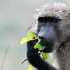 Baboon eating in Hluhluwe-Imfolozi Game Reserve, South Africa