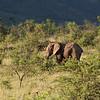 Bull Elephant 6