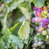 Vineyard, Breerivier